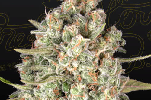 Lost Pearl New IBL weed strain from Greenhouse Seed Co.
