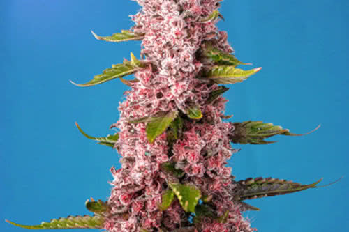 Red Hot Cookies Auto Seeds New Strains 2021