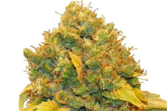 Banana Kush: one of the best indica strains to grow indoors