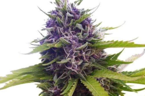 blueberry auto strain grow by ilgm