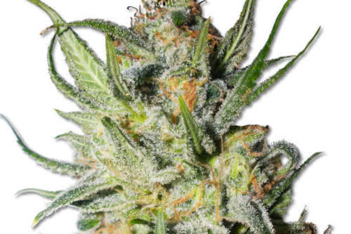 Thai Stick Weed Strain Reg Seeds