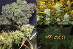 TOP 25 BEST SATIVA STRAINS 2021