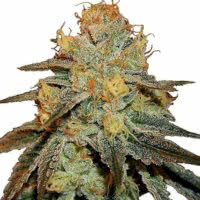 Strain of the Week 04 Aug 2021 - Mold Resistant Strains