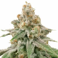 Strain of the Month October 2021 - Mold Resistant Strains